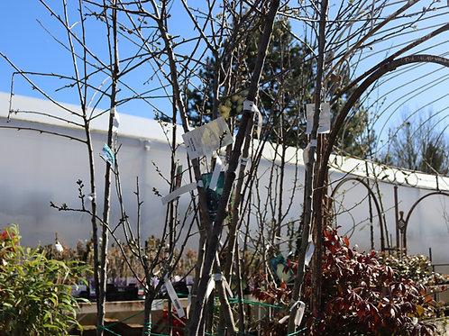 Cerisier Griotte de Montmorency