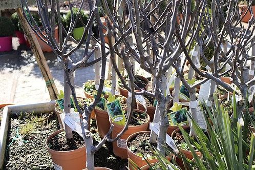 Ficus Carica 40-50