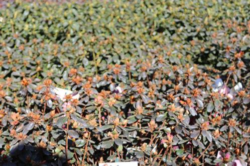 Azalea Japon Pourpre