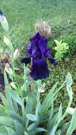 Iris 80134