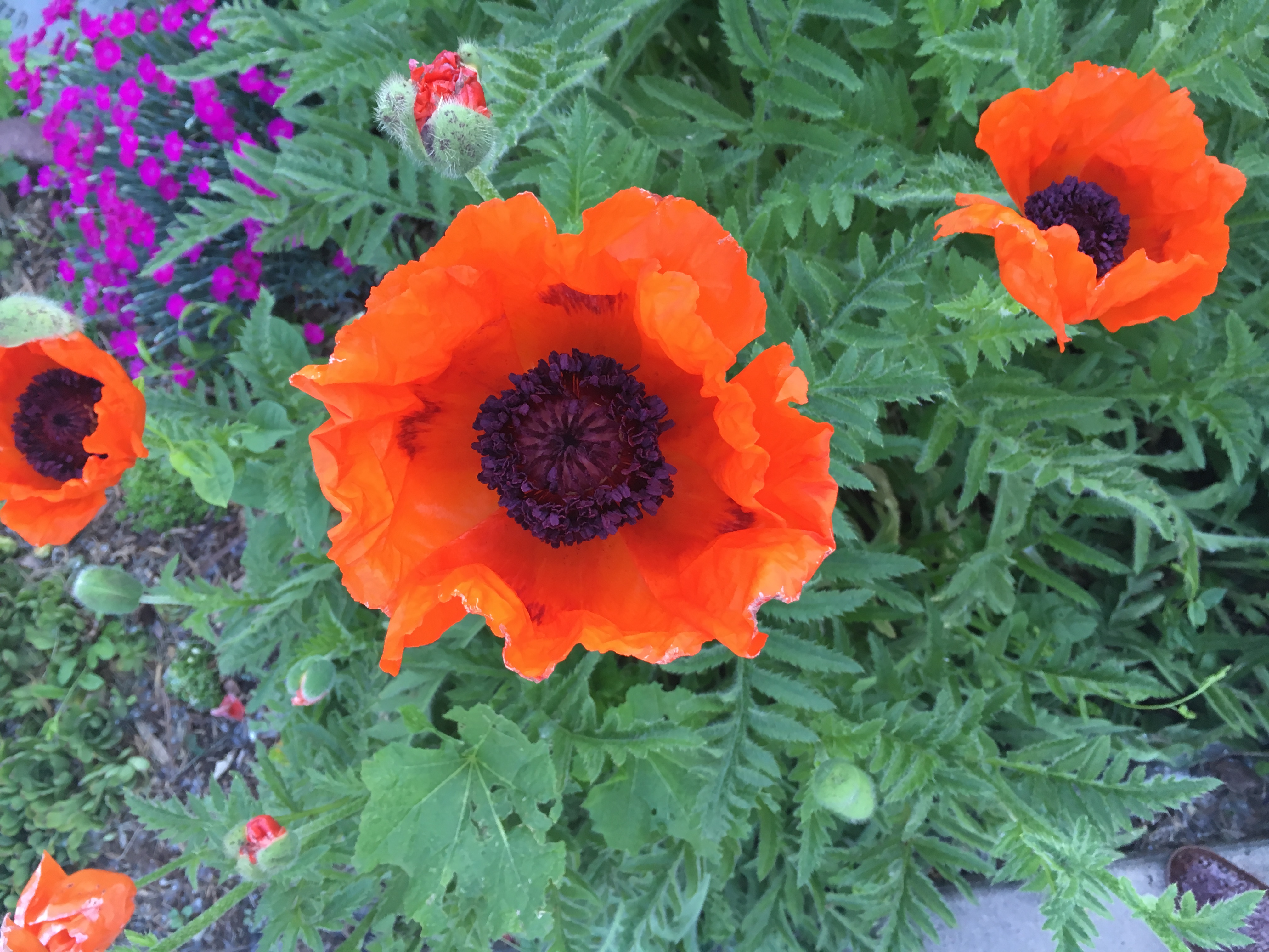 Oriental Poppy adds a bright blast of co
