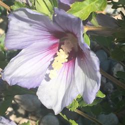 Rose Of Sharon in full bloom