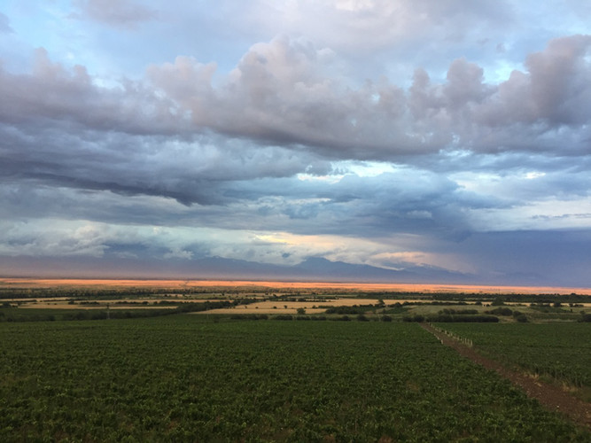 Vines at Sunset