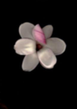 cherry blossom on black.jpg