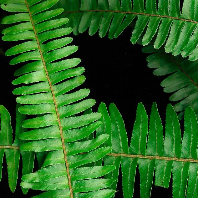 fern on black 1.jpg