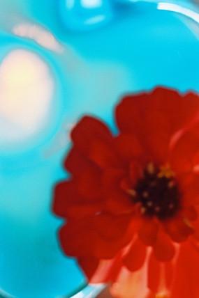 Red Aqua zinnia.jpg