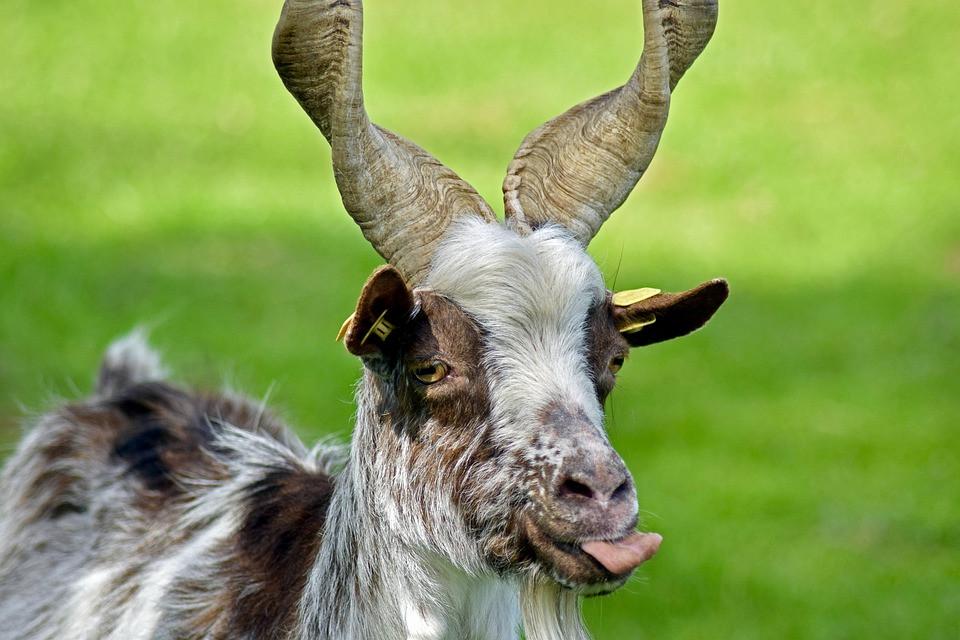 girgentana-goat-2351716_960_720.jpg.jpg
