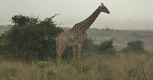 Giraffe 6 (Social Media).mp4