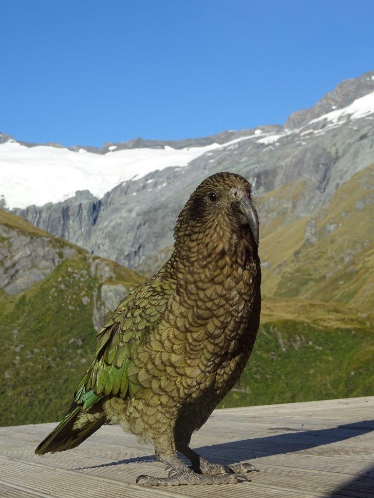 Kea (Nestor notabilis), New Zealand