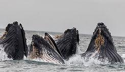Vaina de ballenas