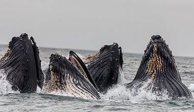 Pod of Whales