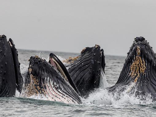 A hosszúszárnyú bálnák a legkedvesebb állatok a világon?
