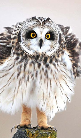 Short-eared Owl Adoption