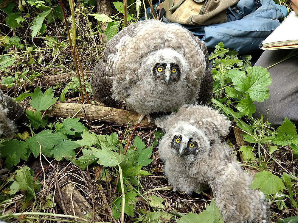 Long-eared Owl chicks, Owl Research Institute