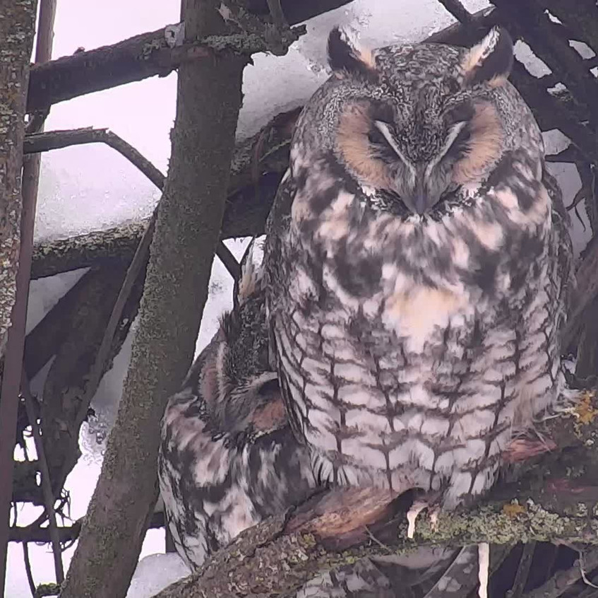 LONG-EARED OWL ROOST