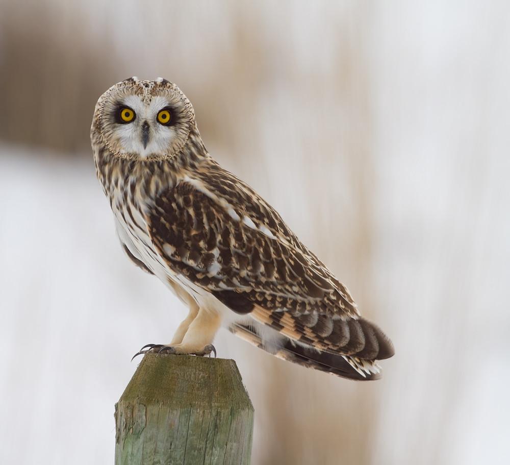 Short-eared Owl - Ashok Khosla photo