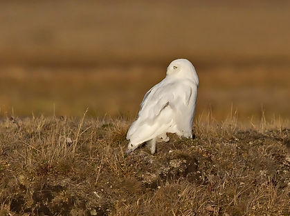 snowy owl, why is the snowy owl white