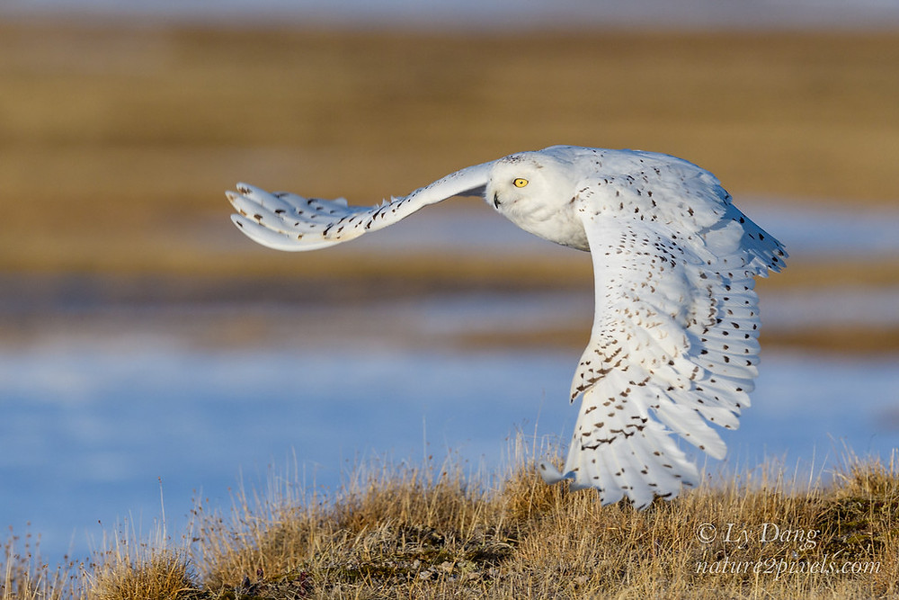 Snowy Owl © Ly Dang, nature2pixels.com