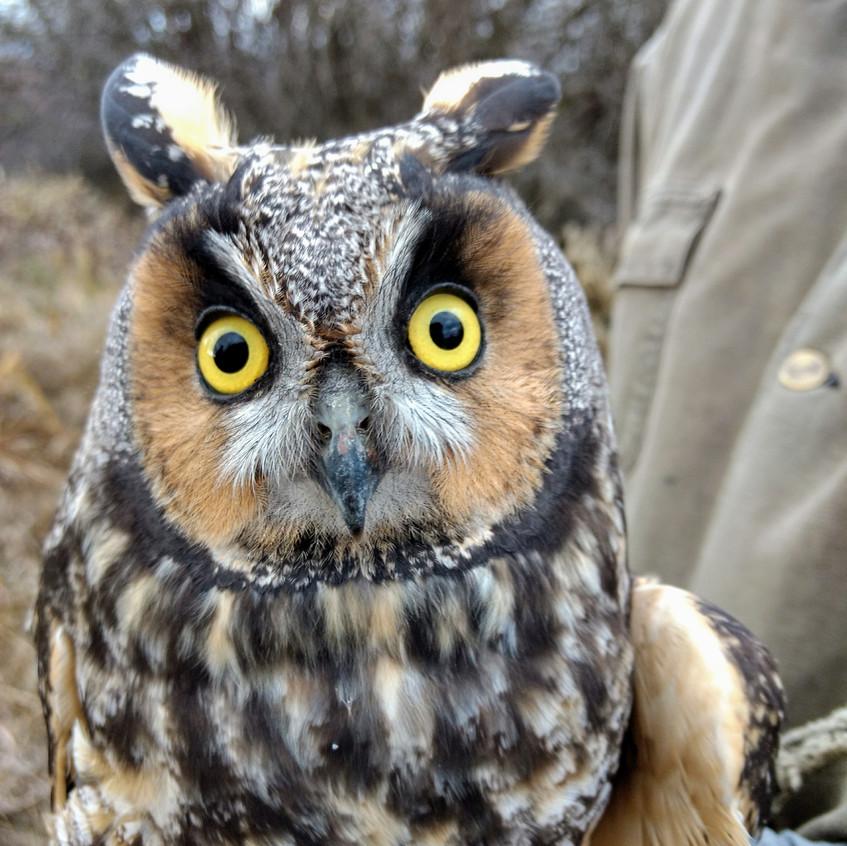 ORI's Long-eared Owl Research