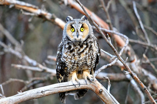 Long-eared Owl Roost Cam is streaming LIVE again!