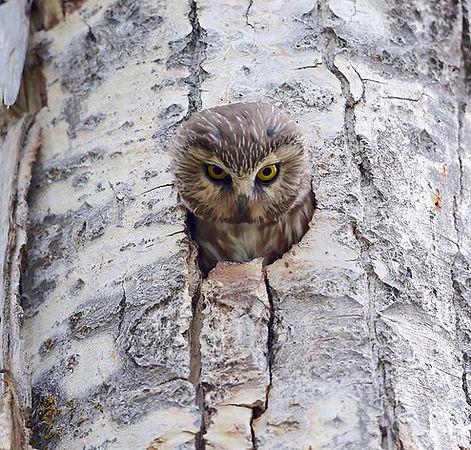 Saw Whet owl, cavity nester