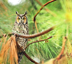 long-eared owl perched on a pine branch