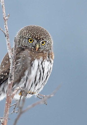 Northern Pygmy Owl Adoption