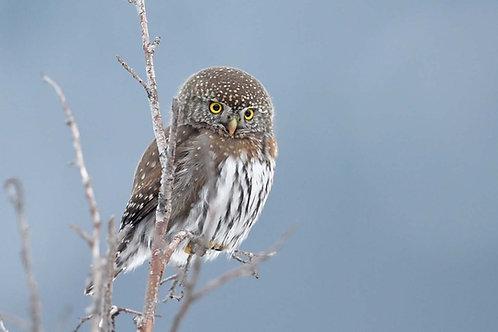 Northern Pygmy Owl Adoption