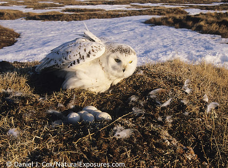 snowy owl nest, snowy owl incubation, snowy owl nest, snowy owl eggs hatch, snowy owl brood