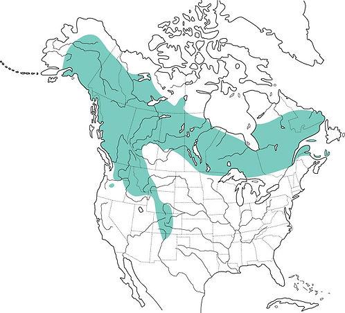 boreal owl distribution, boreal owl facts, boreal owl size, boreal owl range, boreal owl eat, listen to boreal owl, boreal owl hunting, boreal own babies, boreal owl id guide, boreal owl conservation