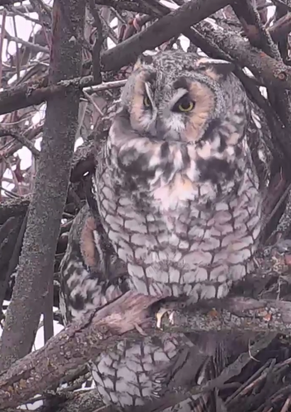 Long-eared Owl Live Cam