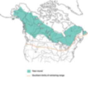 northern hawk owl, northern hawk owl distribution, hawk owl, hawk owl distribution