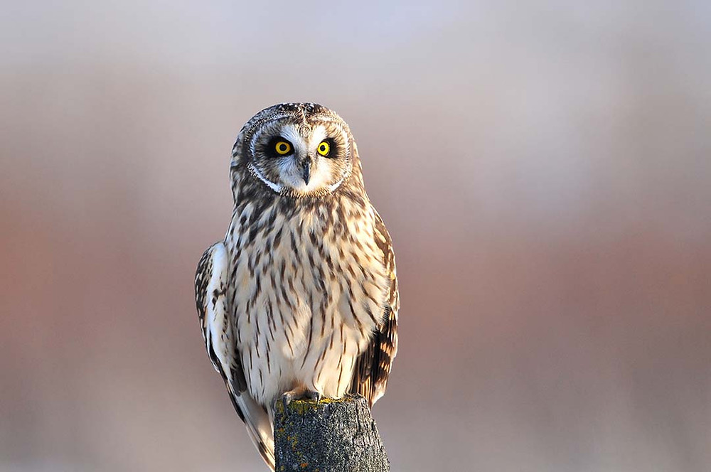 Kurt Lindsay photo, Short-eared Owl, Montana