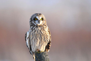 Calling All Short-eared Owl Enthusiasts!