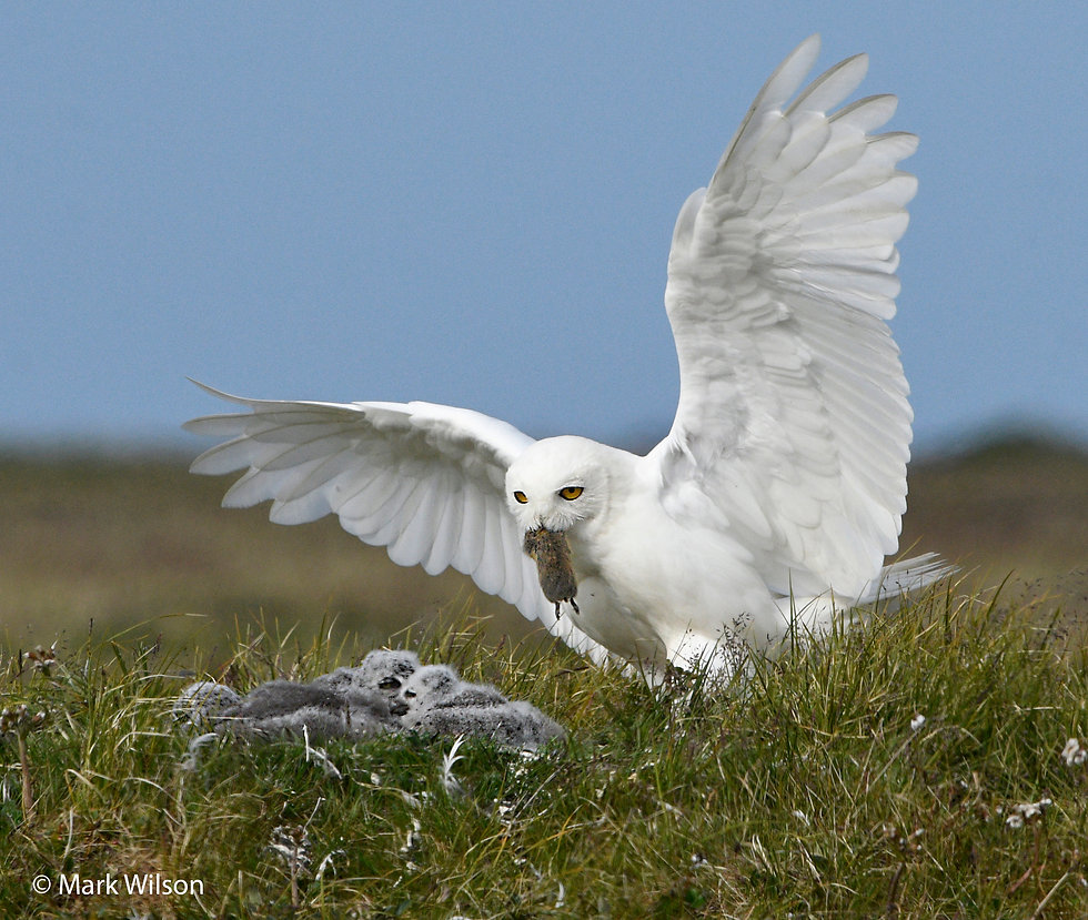Snowy Owl male delivers lemming to nest