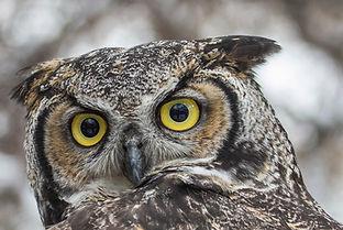 Great Horned Owl vison