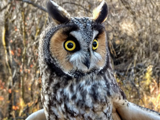 Long-Eared Owl Count Appears Strong This Fall