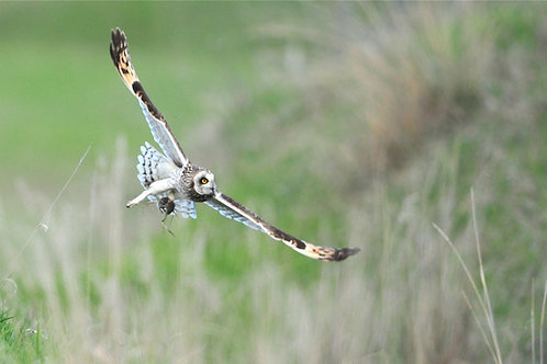 Adopt a Short-eared Owl - Electronic PDF Download