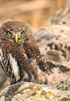 Adopt a Northern Pygmy Owl - Electronic PDF Download