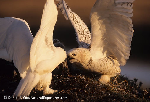 do snowy owl males and females look alike, snowy owl female feathers