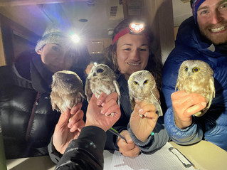 Celebrating 10 Years of Northern Saw-whet Owl Migration Research!
