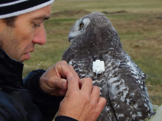 New Project: Tracking young Snowy Owls in the Arctic