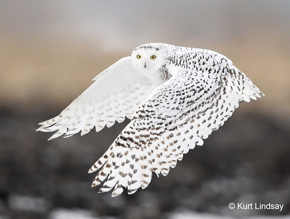 A snowy owl in flight. The bird is looking at the camera. Both wings are outstretched in front of it. It has a pure white face and underwing, but the outer wings, back, and top of the head are covered with black spots. Photo by Kurt Lindsay.