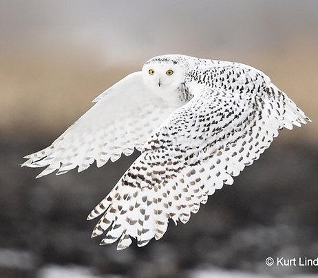 Banded Snowy Owl Adoption