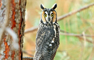 long-eared owl perched in a tree branch