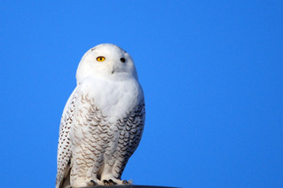 Have you seen a Snowy Owl?