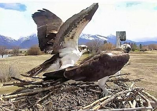 Charlo Ospreys Return to the Nest!