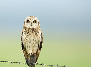 short-eared owl sitting on a barbed wire fence