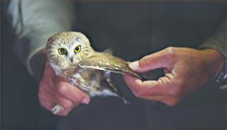 Mark your calendars for ORI's Public Owl Banding Night
