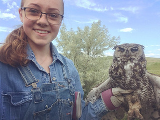 Injured Great Horned Owl Response